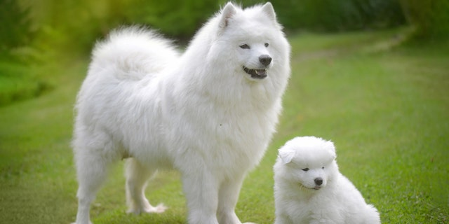 Samoyeds are seen as among the most expensive dogs.