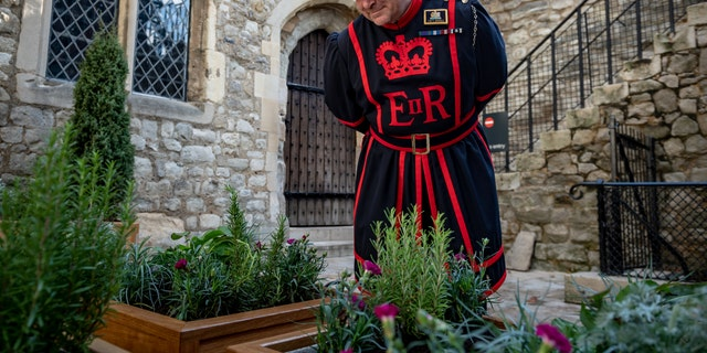 "A Yeoman Warder, or Beefeater, examines the ""Lost garden"" in front of the Tower of London's Bloody Tower. (© Historic Royal Palaces/SWNS)"
