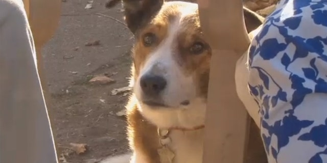 Alex, a Border Collie-Red Heeler mix, would get extremely aggressive when around meth.