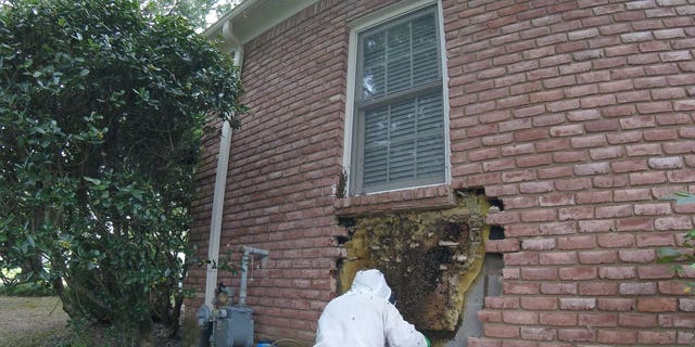Glover said it took more than four hours to remove all the bees and clean the wall.