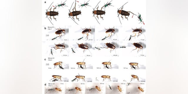 Ken Catania's study found different survival rates for interactions between n Emerald wasps and American cockroaches.