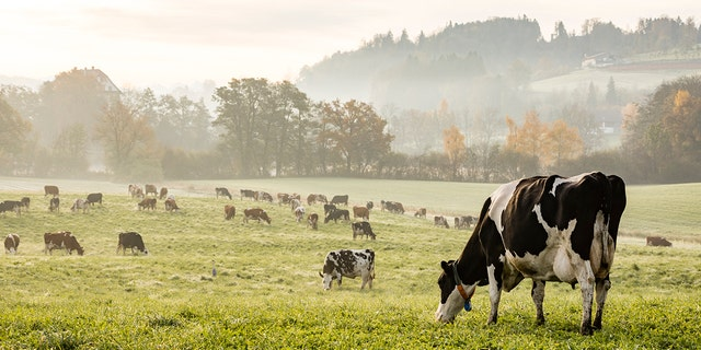 Cows may be eliminated by the Green New Deal announced Thursday.