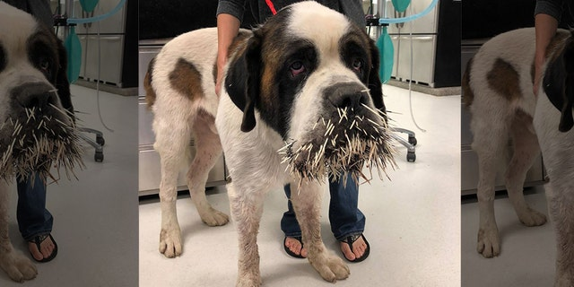 Ruckus, a Saint Bernard in New York, found his way to a porcupine's bad side during a run-in last month.