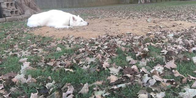 The couple's other pooch, Conrad, is pictured resting on top of Canon's newly-dug grave.