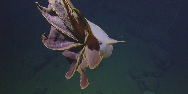 Researchers came across a Dumbo octopus on Tuesday.