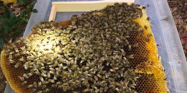 The owner of Virginia Wildlife Management and Control helped extract the hive from the fence.