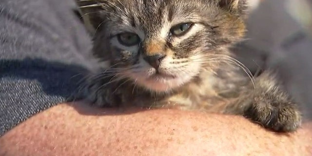"""""""Sticky"""" the kitten was found with her feet stuck to a busy road on Friday."""
