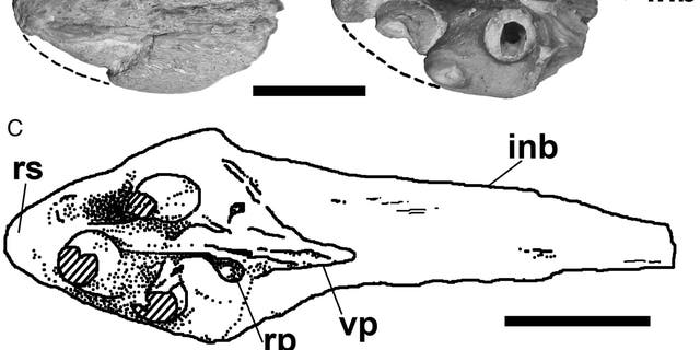 Dentigerous portion of tylosaurine premaxillae. A–B, FHSM VP-14845, Tylosaurus sp. in A, dorsal and B, ventral views. C, TMM 40092-27, Tylosaurinae, in ventral view. Broken lines in A and B indicate reconstructed outlines of the element. C based on Polcyn et al. (2008 Polcyn, M. J., G. L. Bell Jr., K. Shimada, and M. J. Everhart. 2008. (Credit: Takuya Konishi, Paulina Jiménez-Huidobro & Michael W. Caldwell)