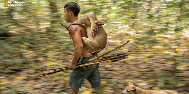 An Awá hunter returns home with a small brocket deer. Sometimes hunters see signs of the isolados, their isolated brethren. As many as a hundred Awá still live as nomads in the Amazon forest, despite increasing pressure from illegal loggers and settlers.