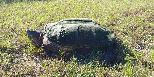 The turtle was later taken to a nearby pond.