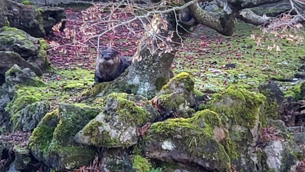 Otter Terrorizes Famous Chinese Garden In Vancouver Kills 7