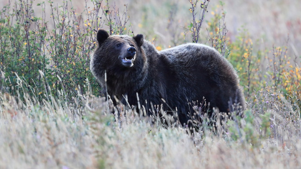 Grizzly bear injures 3 hunters in attacks at national forest