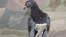 Arizona bird rescue searching for owner of mysterious bedazzled pigeon