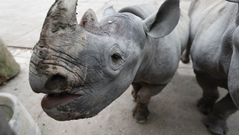 European zoos to send critically endangered rhinos to Rwanda