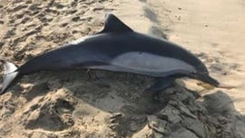 Dolphin found shot dead on California beach