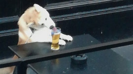Sneaky dog goes viral after it drinks owners' beer (and double checks to see if the coast is clear)