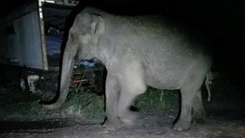Elephant found wandering in New York town gets escort from state police
