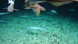 'Very rare' shark nursery discovered deep below the surface: 'It was incredible'