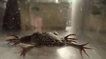 Bioreactor device helps regrow legs on frogs