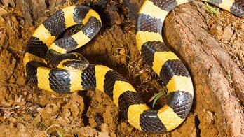 Venomous snake discovered inside potato sack in passenger's luggage