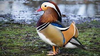 New York's Central Park is now home to a rare and colorful Mandarin duck