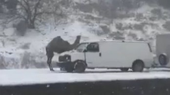 Camel spotted stranded on Pennsylvania roadway amid snowstorm
