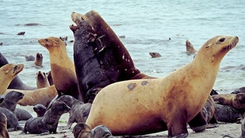 Dead sea lions, some with gunshot wounds, washing up along shore near Seattle
