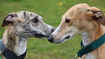 Thousands of Florida greyhounds will need new homes after dog racing ban