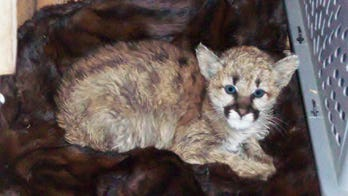 Baby mountain lion discovered at Colorado home was fed bratwurst, became sick, officials say