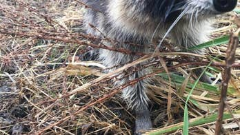 West Virginia police 'apprehend' raccoon 'drunk' on fermented crab apples