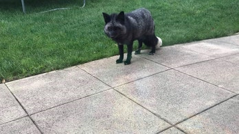 Extremely rare silver fox caught in England