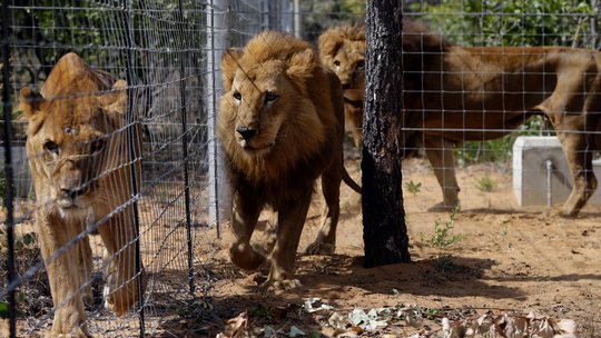 South American circus lions still unsettled in South Africa