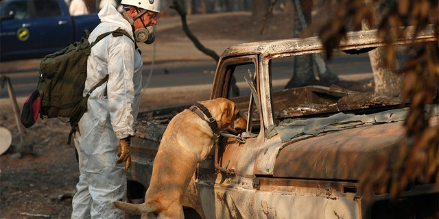 A search and rescue dog searches for human remains at the Camp Fire, in Paradise, Calif.