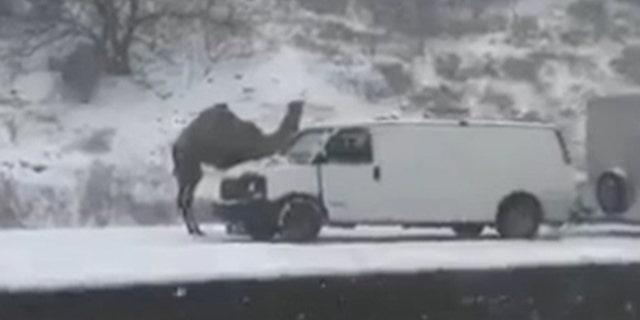 Einstein the camel was spotted stranded on the side of a road in Pennsylvania.