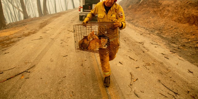 Capt. Steve Millosovich carries a cage of cats while battling the Camp Fire in Big Bend, Calif., on Friday, Nov. 9, 2018. Millosovich said the cage fell from the bed of a pick-up truck as an evacuee drove to safety. (AP Photo/Noah Berger)