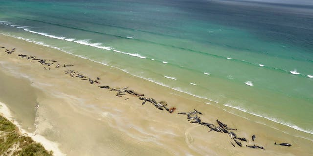 Pilot whales lie beached at Mason Bay, Rakiura on Stewart Island, New Zealand. As many as 145 pilot whales have died after the mass stranding which was discovered by a hiker on Saturday.