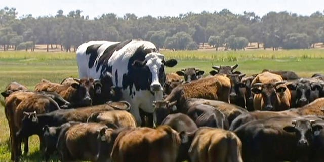 In this image made from video taken Nov. 15, 2018, Knickers the steer, center back, is in her paddock with the rest of the cow herd in Lake Preston, Australia.