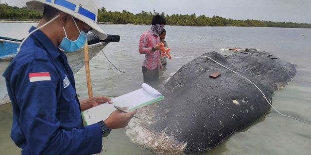 In this undated photo released by Akademi Komunitas Kelautan dan Perikanan Wakatobi (Wakatobi Marine and Fisheries Community Academy or AKKP Wakatobi), researchers collect data of the carcass of a beached whale at Wakatobi National Park in Southeast Sulawesi, Indonesia.