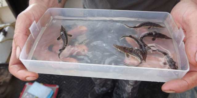 The baby sturgeon were found in the James River.