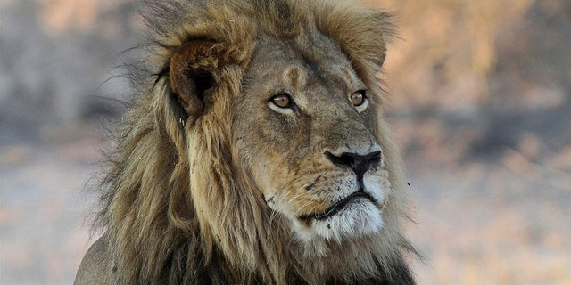 Cecil the Lion rests near Kennedy One Water Point in Hwange National Park, Zimbabwe, in 2013. The killing of the lion by an American two years later caused an international outcry.