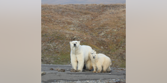In this undated photo provided by Eric Regehr, polar bears are seen on Wrangel Island in the Arctic Circle. (AP Photo Eric Regehr via AP)