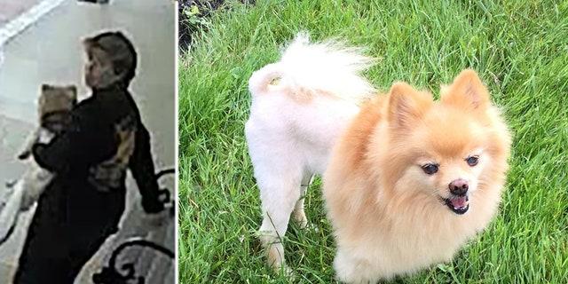 Two Florida women were captured on surveillance video stealing a service dog from a Vietnam veteran on Oct. 28.