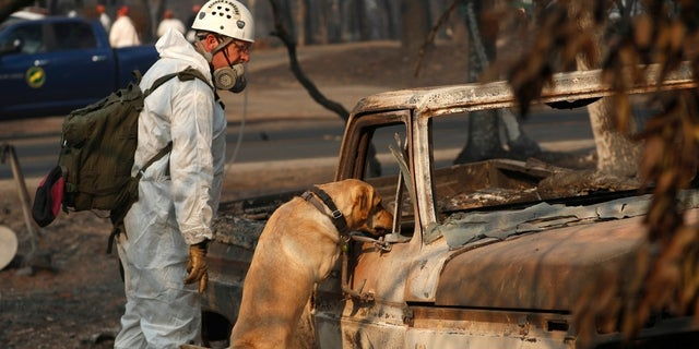 A search and rescue dog rescues for human remains at the Camp Fire, Friday, Nov. 16, 2018.