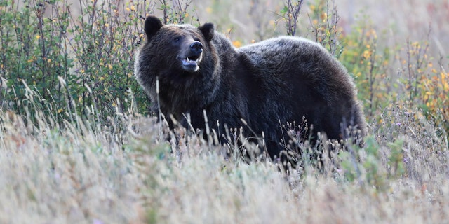 A fourth hunter in Montana has been injured by a grizzly bear in the last 10 days, marking the most recent attack of its kind in Big Sky country.