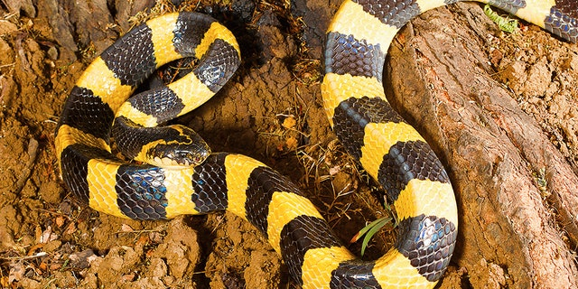 An extremely venomous snake (not pictured) was discovered in an unsuspecting man's luggage.