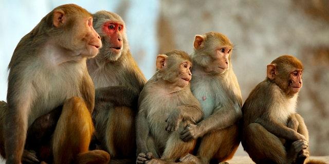 원숭이의 코로나 바이러스 치료 렘 데시 비어 바이러스 감소