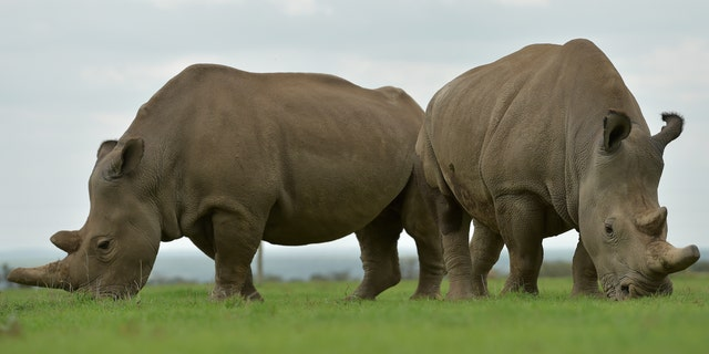 File photo - Najin (L) and Fatu, the only two remaining female northern white rhinos graze together in their paddock on March 20, 2018.