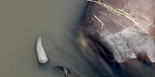 A buffalo carcass in the Chobe river. (Serondela Lodge)