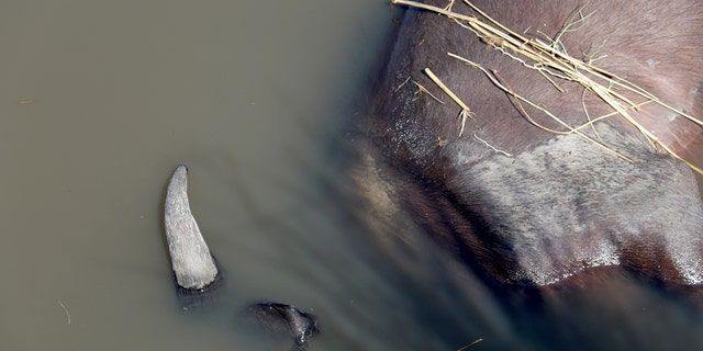 A buffalo carcass in the Chobe river. (Serondela Lodge)