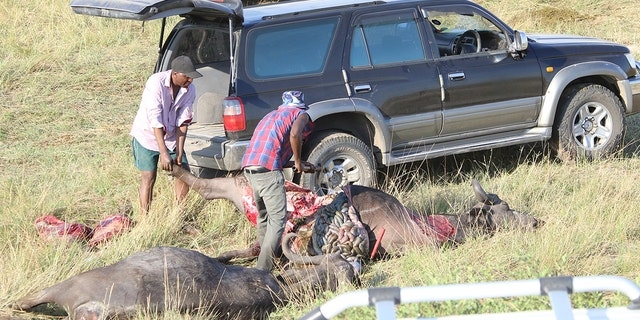 The locals cut the buffalo carcasses into flesh. (Serondela Lodge)